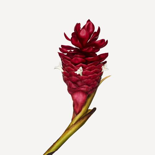 Alpinia-purpurata-Jungle-King