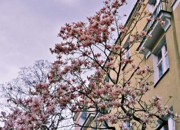 magnolia na Starej Ochocie