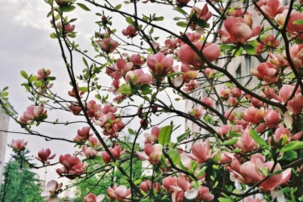 Magnolia na ulicy Supińskiego