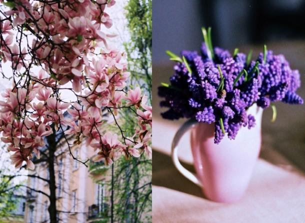 magnolie i szafirki