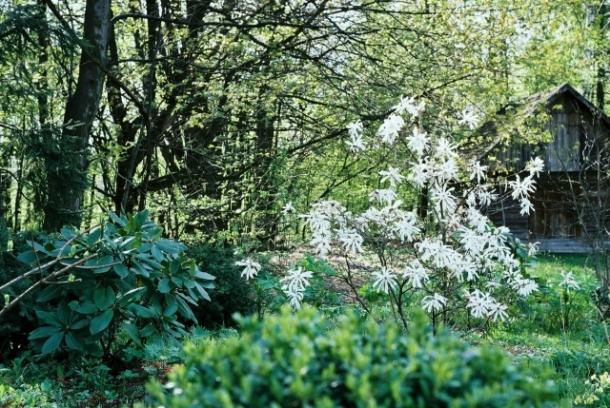 rododendron i magnolia stellata