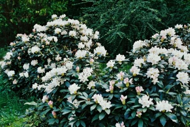 białe różaneczniki