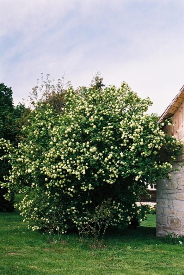 kalina viburnum opulus