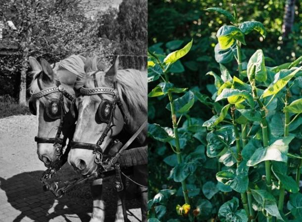 konie i rdest japoński