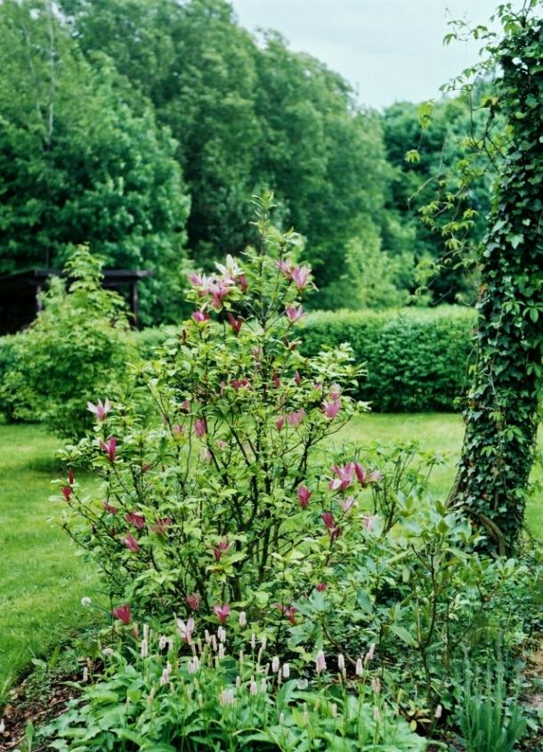 magnolia w maju