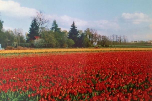 pole tulipanów w Wojciechowie