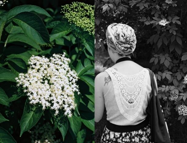Zbieranie kwiatów bzu czarnego