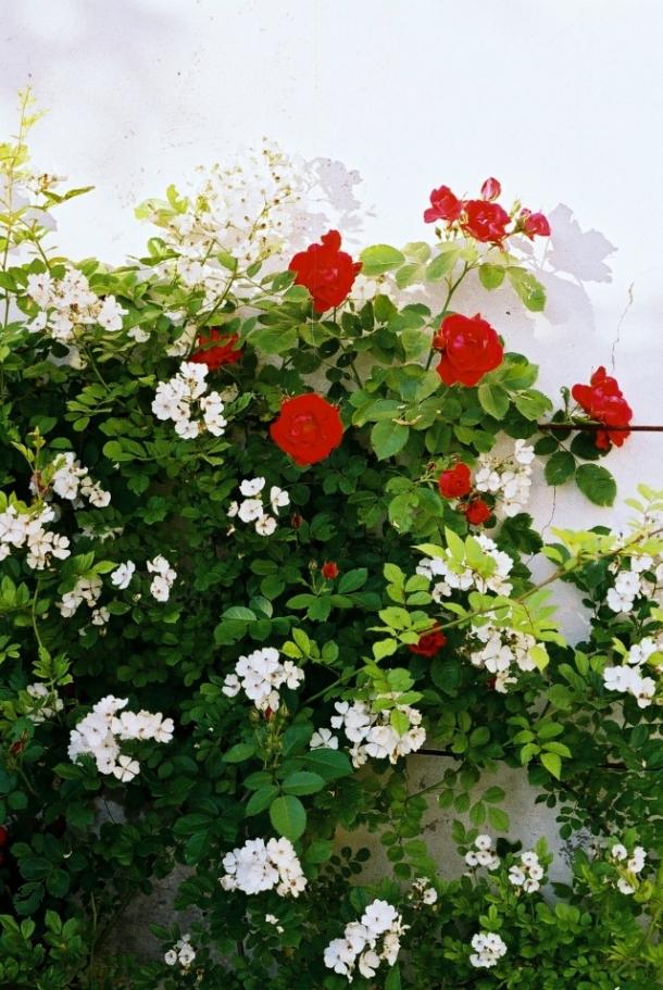 dwa gatunki róż w ogrodzie przyklasztornym