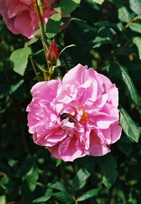 pszczołą na róży