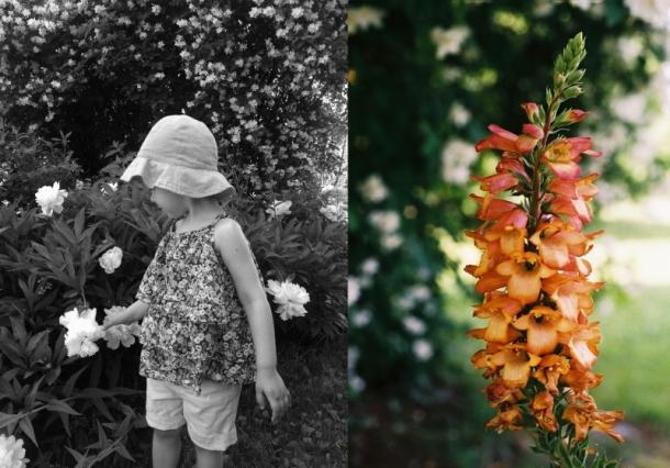 naparstnica apricot