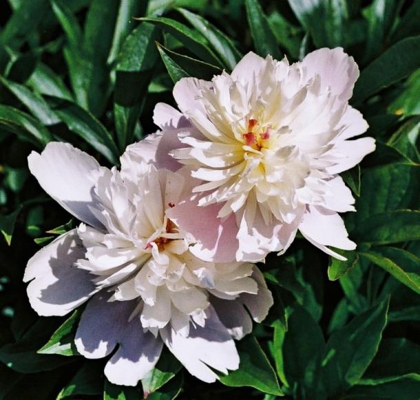 piwonie biało różowe