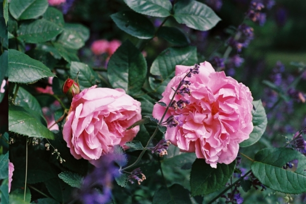 róża angielska i kocimiętka