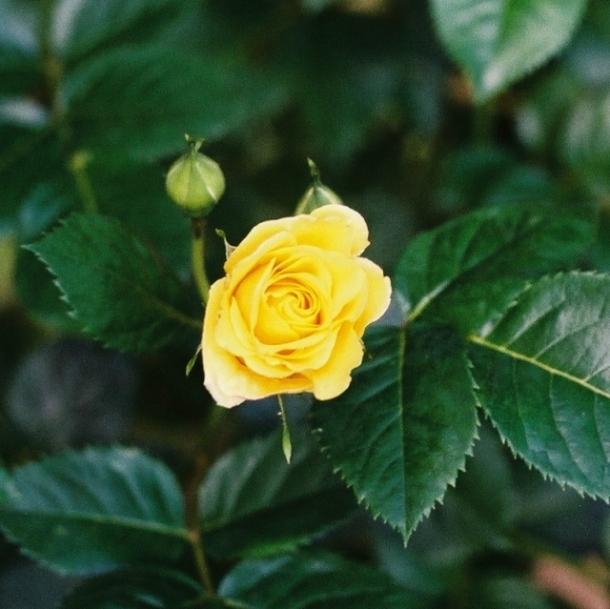 róża stara odmiana