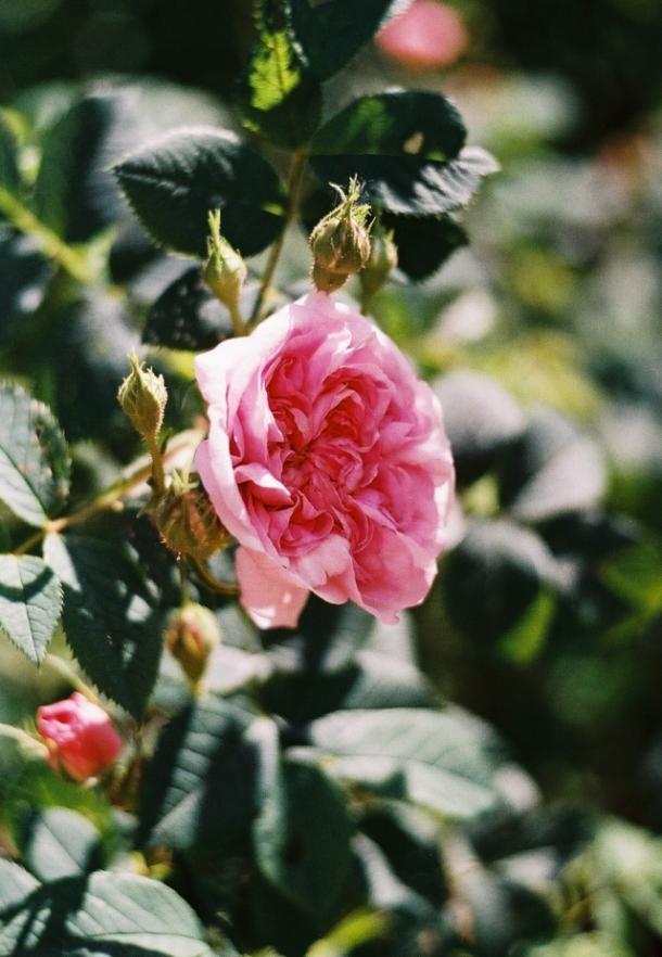róża von Heiderberg