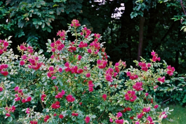 rosa rugosa x