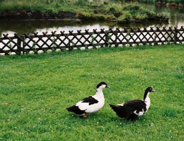 kaczki