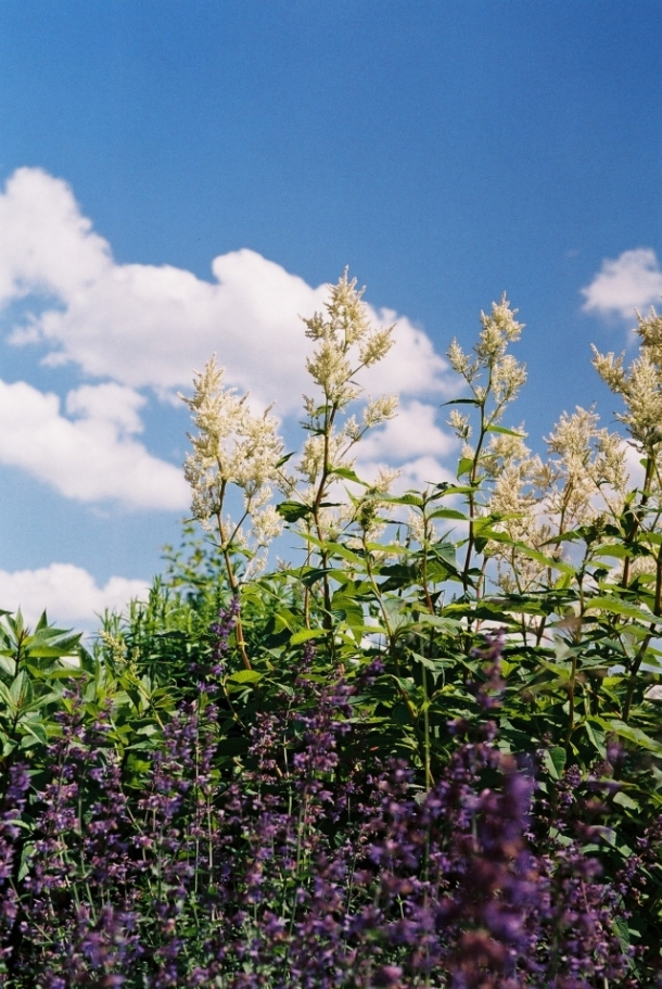 Persicaria polymorpha and catmint
