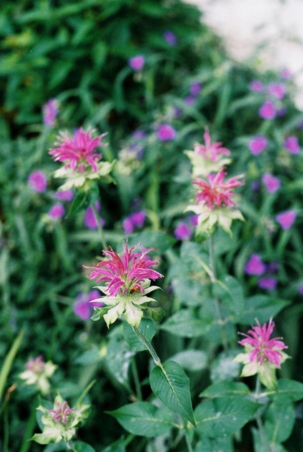 pysznogłówka liliowa
