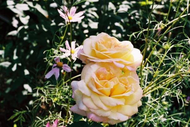 róża i cosmos